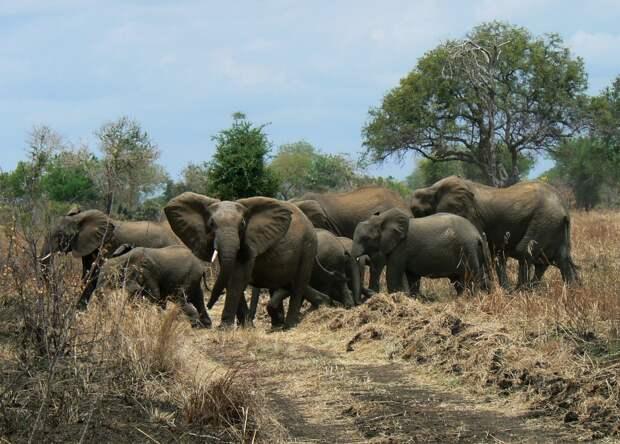 Стадо слонов растоптало браконьера