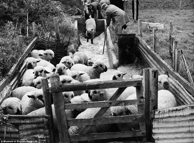 Купание овец