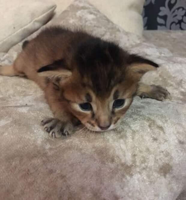 Котёнок чаузи долго ждал новую семью, и моя жена помогла в этом маленькому питомцу