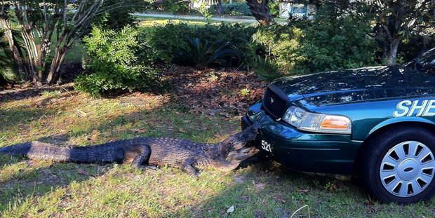 Аллигатор вцепился в автомобиль