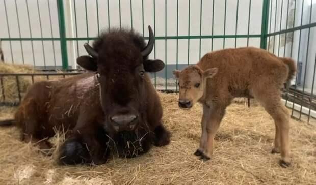 Малыш бизона родился вцирке Екатеринбурга