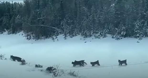 Блогер снял на видео, как рысь переводит котят через дорогу в Пермском крае