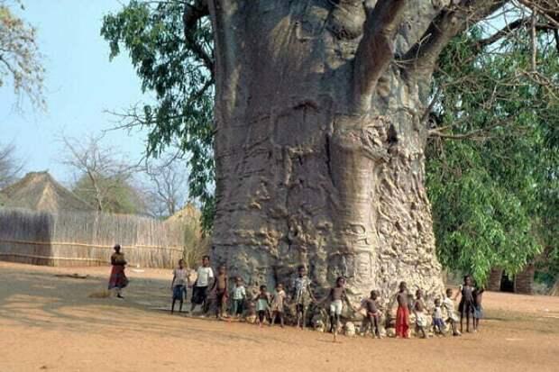 Местные жители говорят, что этому баобабу 6000 лет