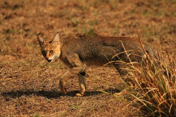 Камышовые кошки обитают преимущественно в степи, так что умение лазать по деревьям им попросту не нужно.