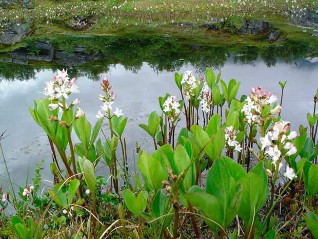 Лекарственное растение Вахта трехлистная (Menyanthes trifoliate)