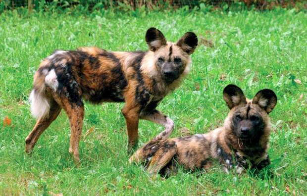Самые красивые представители семейства псовых (собачьих)