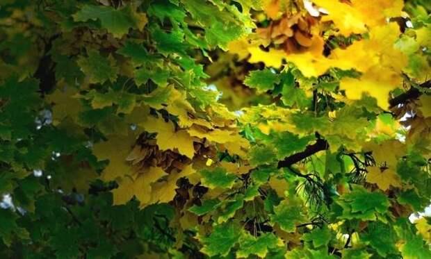 Кленовые Листья для Лечения Суставов...и не только... 18956641_m