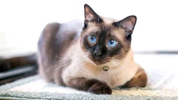 Кошки-долгожители: какие породы радуют хозяев дольше других