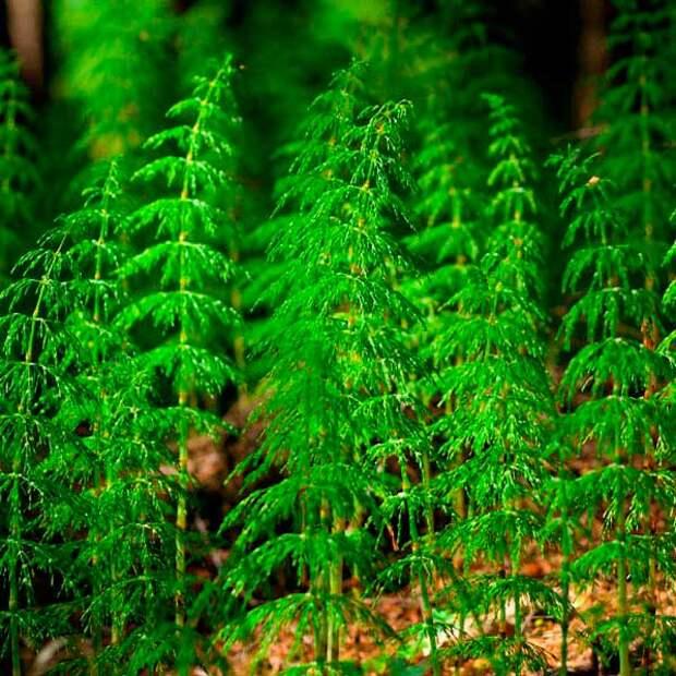 Лекарственное растение Хвощ полевой (Equisetum arvense)