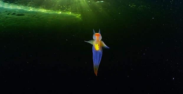 Это не компьютерная графика, оно живое: красивейшее видео морского ангела