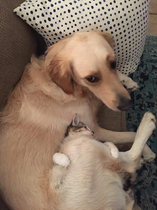 12. И мохнатый друг сгодится в качестве кроватки животные, забавно, забавные животные, кот, коты, кошки, приколы с животными, смешно