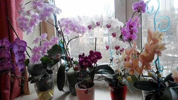 Девушки, никогда не держите орхидею дома! В офисе — можно, дома — нет истории, опасность, орхидея, цветы