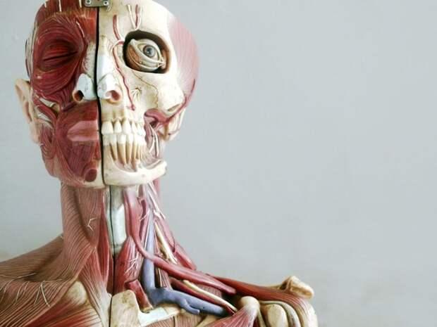 Любопытное о человеческом теле