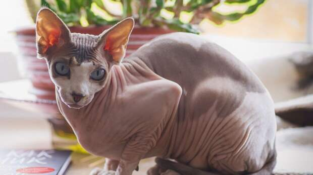 Перечислены самые опасные породы домашних кошек