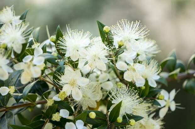 Цветы, Мирта, Природа, Дерево, Тычинки, Пыльца