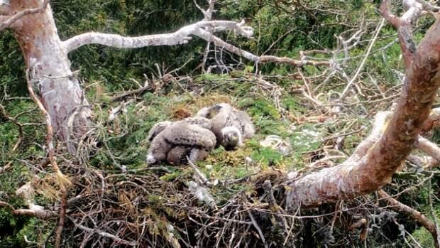 Краснокнижные орланы-белохвосты в Ленобласти обзавелись потомством. Посмотрите на фото этих малышей