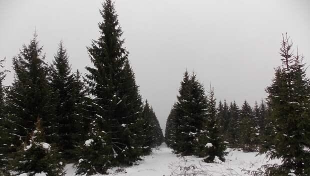 Жители Подмосковья смогут сами срубить новогодние елки в специально отведенных местах