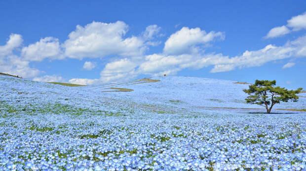 Немофилы в Национальном приморском парке Хитачи