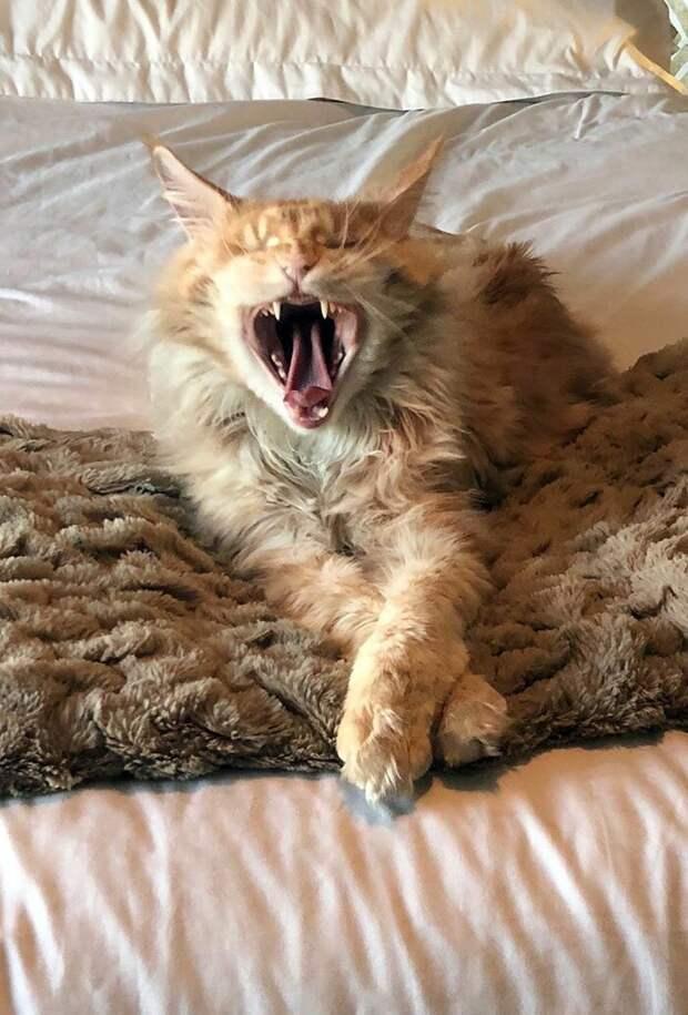 Спать хочется домашние животные, животные, забавно, кошки, мило, мэйкуны, очаровательно, смешно