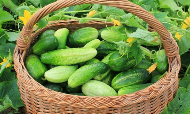 Старый фермер рассказал секрет огромного урожая огурцов