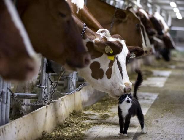 Коровы и кот