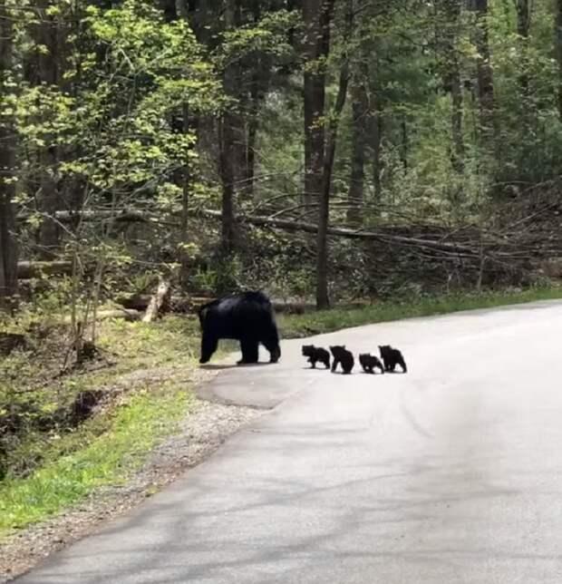 Водитель остановился, чтобы пропустить медведицу, но та была не одна видео, животные, забавно, медведи, медведица, медвежата, мило, природа
