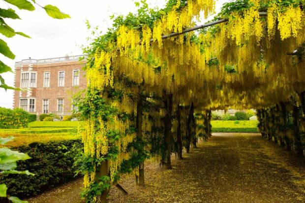 Некоторые из растений «Ядовитого сада» действительно очень красивы (Золотой дождь или Бобовник анагировидный – все части этого растения ядовиты)