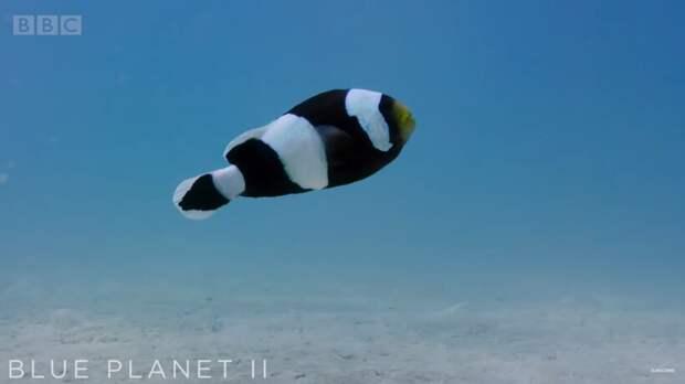 Видео: Невероятная командная работа рыб-клоунов
