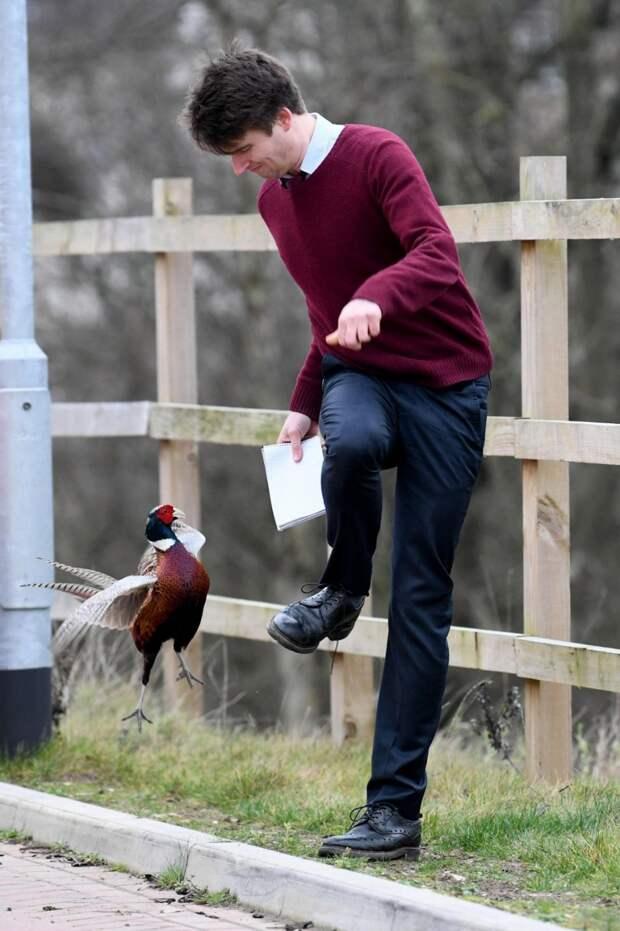 Агрессивный фазан держит в страхе жителей британской деревни