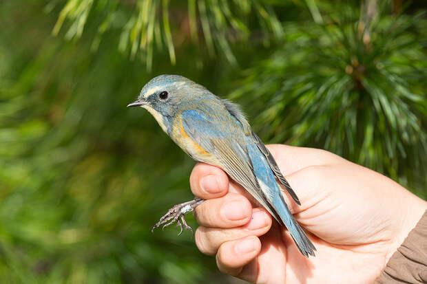 кольцевание птиц байкальский заповедник