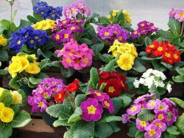 Примула выращивание и уход в домашних условиях