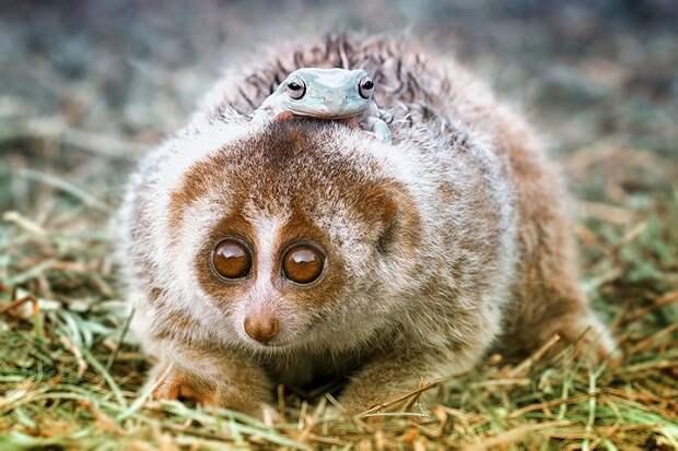 Толстый лори — это целый род медлительных обезьянок, в который входит 5 видов.