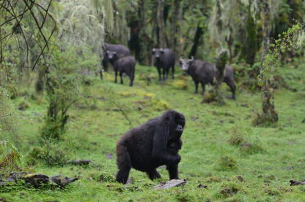 Перехитрить природу! Новый вожак стаи хотел убить её малыша, но мама-горилла отважилась на невероятный поступок…