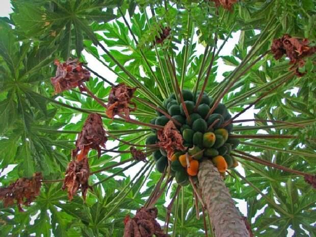 Папайя или дынное дерево. \ Фото: livejournal.com.