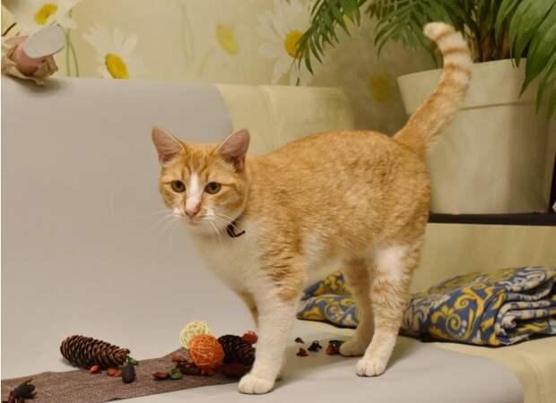 Рыжий кот заразился коронавирусом от своей хозяйки: это первый случай в Петербурге