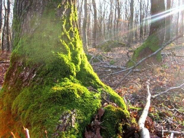 дерево покрытое мхом