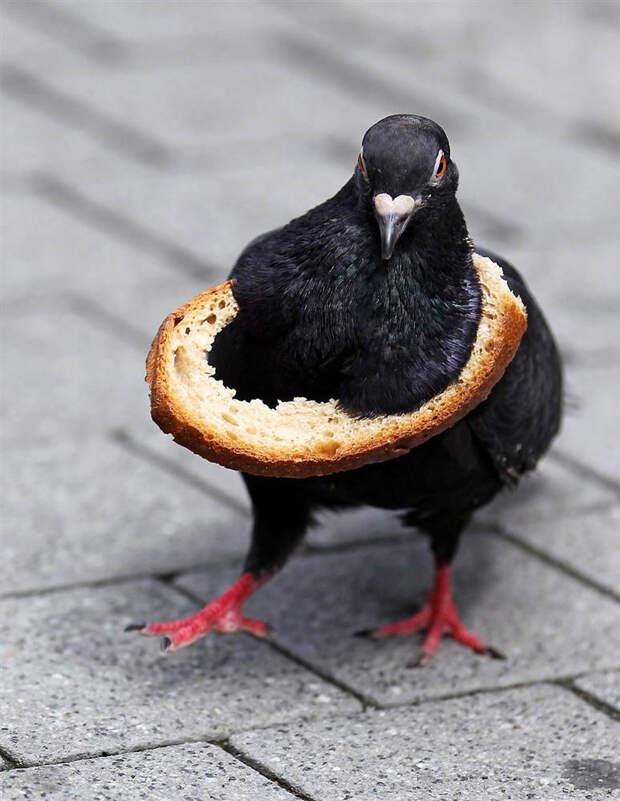 Голубь с хлебной коркой