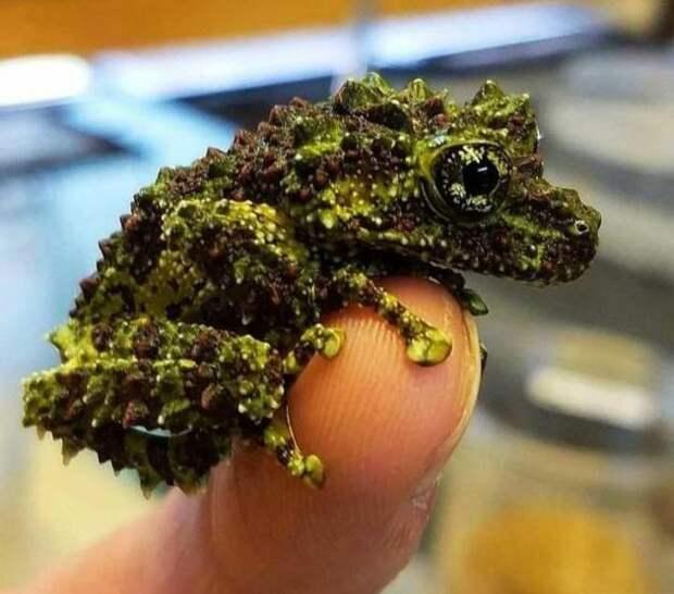 Необычная жаба