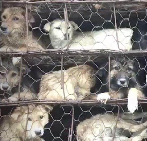 Парень своим авто преградил путь грузовику с 1000 собак, которых везли на бойню
