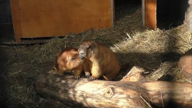 Сурки Петр и Февронья проснулись после спячки в Московском зоопарке