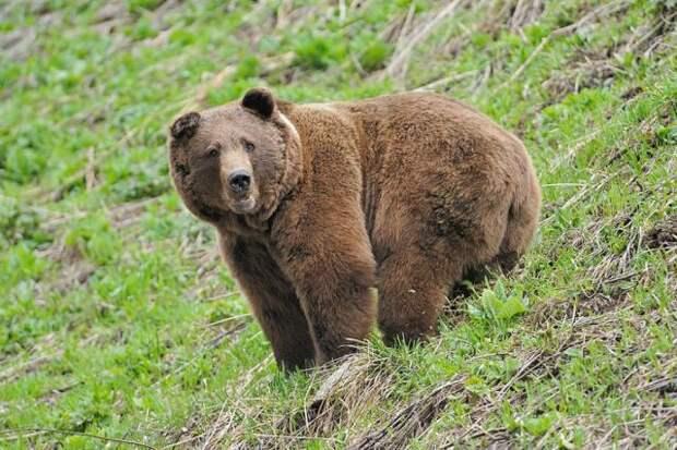 Принца Лихтенштейна подозревают в убийстве самого крупного медведя Европы