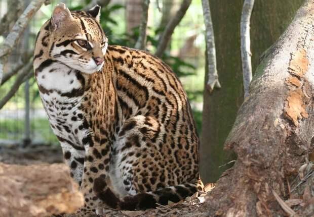 Леопард оцелот