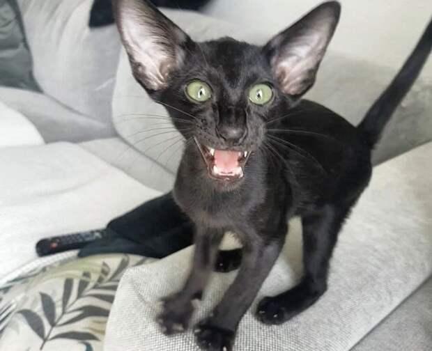 22 кусачих котика, которые решили возглавить домашнюю иерархию