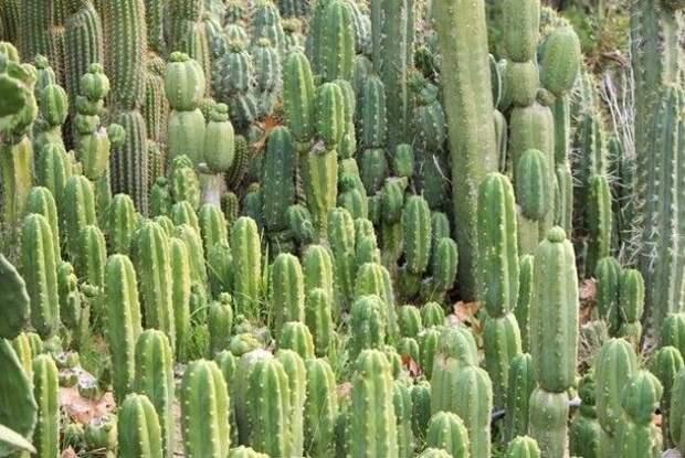 11. Если вы срежете кактус в штате Аризона, то можете получить до 25 лет тюрьмы. абсурдные законы, законы сша, сша