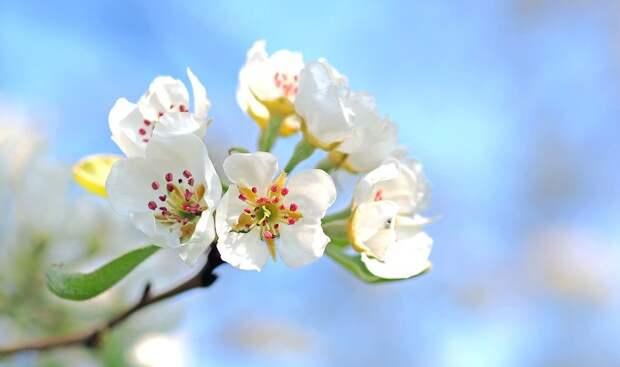 Яблоневый Цвет, Цветы, Дерево, Яблоня, Белые Цветки