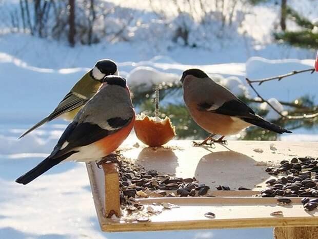 Снегирь-птица-Описание-и-образ-жизни-снегиря-8