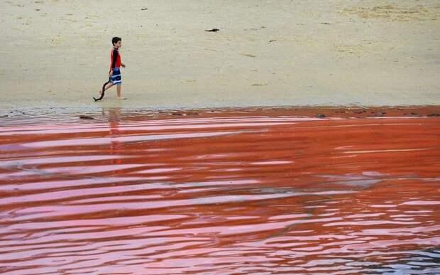 krovavoaliokean 2 Вода на пляжах Австралии окрасилась кроваво красным, напугав отдыхающих