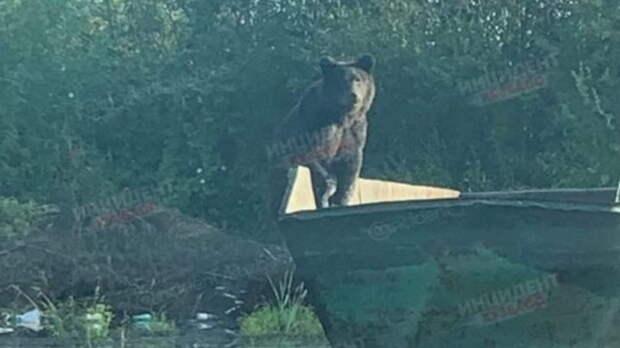 Голодный медведь вышел в Кузбассе на улицы города в поисках пищи