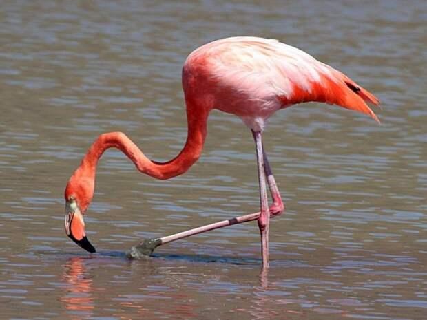 Фламинго-птица-Описание-и-образ-жизни-фламинго-1