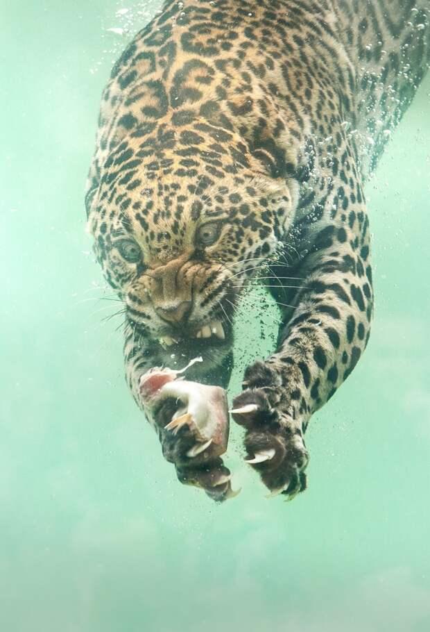 Редкие кадры: ягуар ныряет в воду за едой